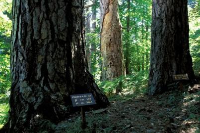 Pinus laricio, Pino laricio, corteccia, alberi centenari nella riserva naturale di Fallistro, GIGANTI DELLA SILA, PN SILA, ALBERI MONUMENTALI